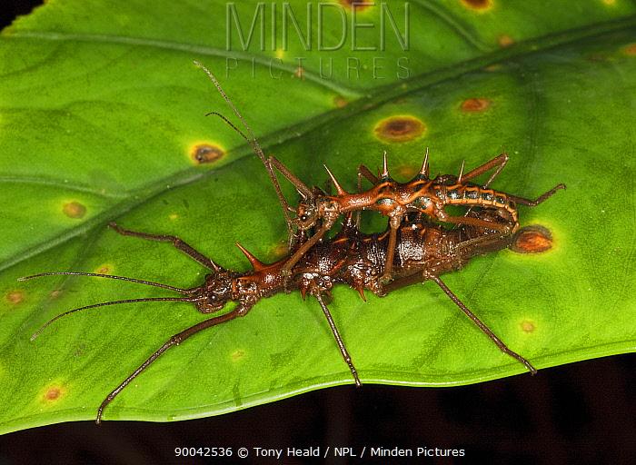 Stick insects (Phasmidae) Mating pair, female larger, male smaller, Bako National Park, Sarawak, Borneo, September  -  Tony Heald/ npl