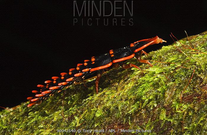 Trilobite beetle (Duliticola paradoxa) larva, female, Mount Kinabalu, Sabah, Borneo, September  -  Tony Heald/ npl