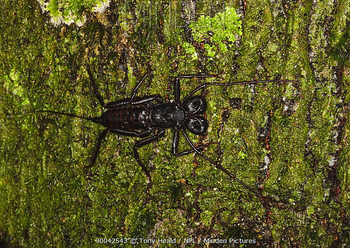 Whip Scorpion (species unknown) on mossy tree trunk, Danum Valley, Sabah, Borneo, September  -  Tony Heald/ npl