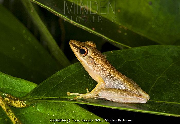 Cricket Frog [Rana nicobariensis] Bako National Park, Sarawak, Borneo, September  -  Tony Heald/ npl