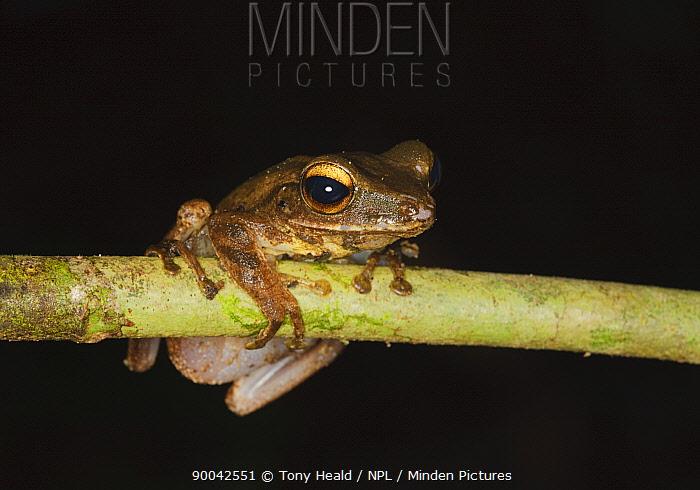 Four-lined, File eared tree frog [Polypedates leucomystax] in rainforest, Sukau, Sabah, Borneo, September  -  Tony Heald/ npl