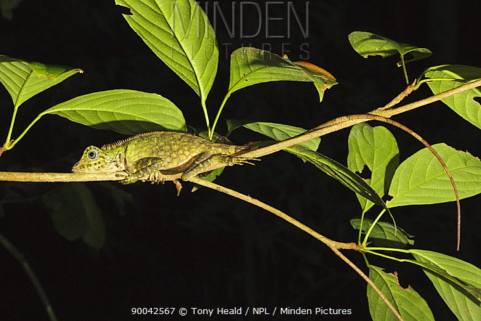 Tropical Forest Dragon (Gonocephalus liogaster) in rainforest at night, Danum Valley, Sabah, Borneo, Malaysia  -  Tony Heald/ npl