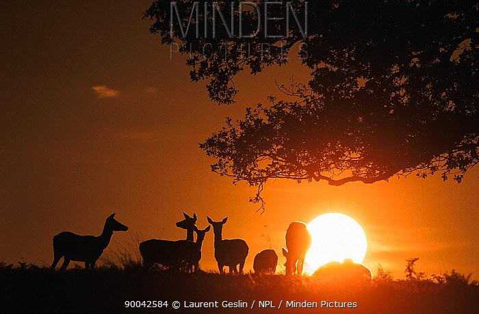 Red deer (Cervus elaphus) silhouettes at dusk, England, UK  -  Laurent Geslin/ npl
