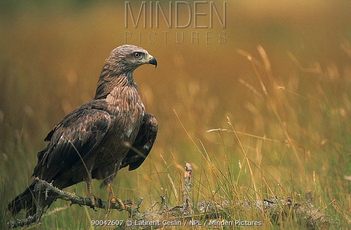 Black Kite (Milvus migrans) perched, France  -  Laurent Geslin/ npl