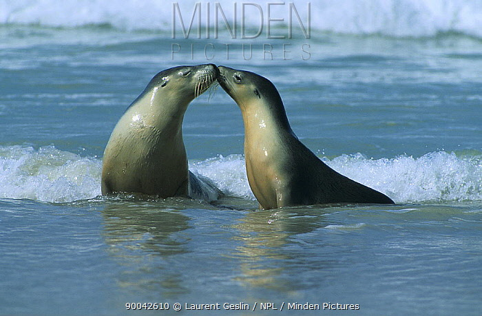 Australian Sea Lion (Neophoca cinerea) two females interacting on sandy beach, Kangaroo Island, South Australia  -  Laurent Geslin/ npl