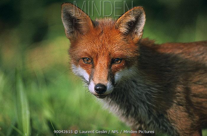 Red Fox (Vulpes vulpes) head portrait, United Kingdom  -  Laurent Geslin/ npl
