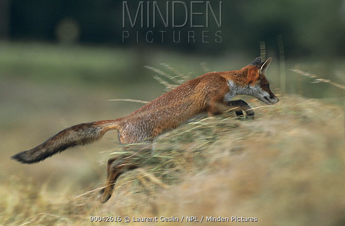 Red Fox (Vulpes vulpes) jumping through long grass, United Kingdom  -  Laurent Geslin/ npl