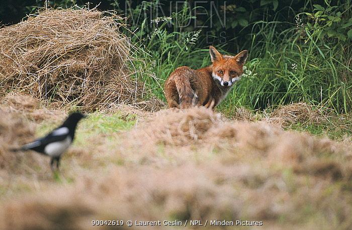 Red Fox (Vulpes vulpes) watching Magpie, United Kingdom  -  Laurent Geslin/ npl
