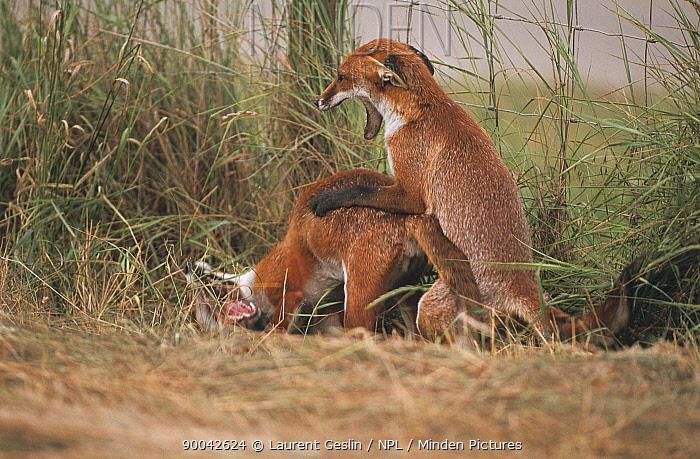 Red Fox (Vulpes vulpes) pair fighting, United Kingdom  -  Laurent Geslin/ npl
