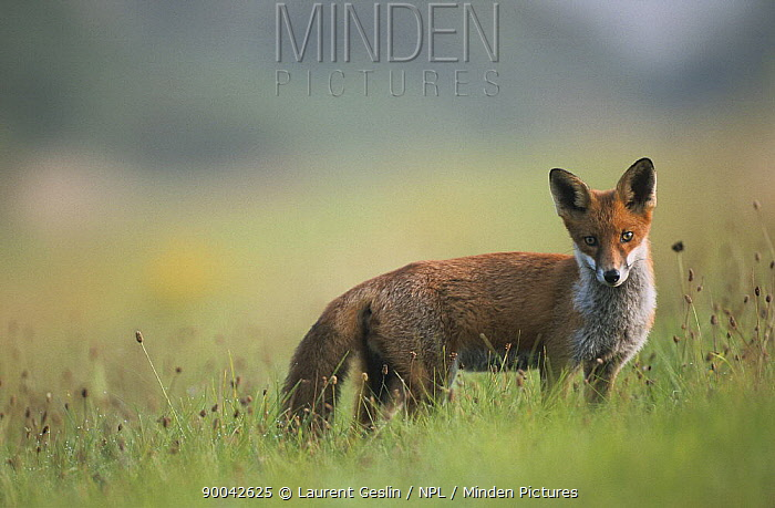 Red Fox (Vulpes vulpes) in the english countryside, United Kingdom  -  Laurent Geslin/ npl