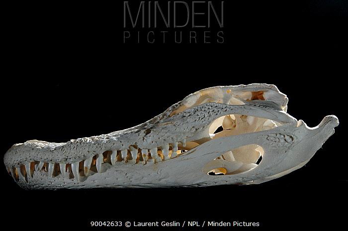 American Alligator (Alligator mississippiensis) skull and teeth  -  Laurent Geslin/ npl