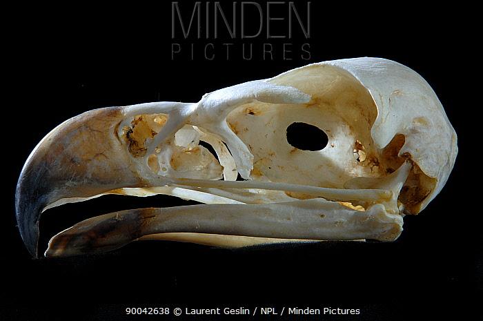 Wedge-tailed Eagle (Aquila audax) skull and beak  -  Laurent Geslin/ npl