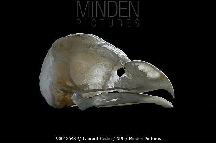 Long-eared Owl (Asio otus) skull and beak  -  Laurent Geslin/ npl