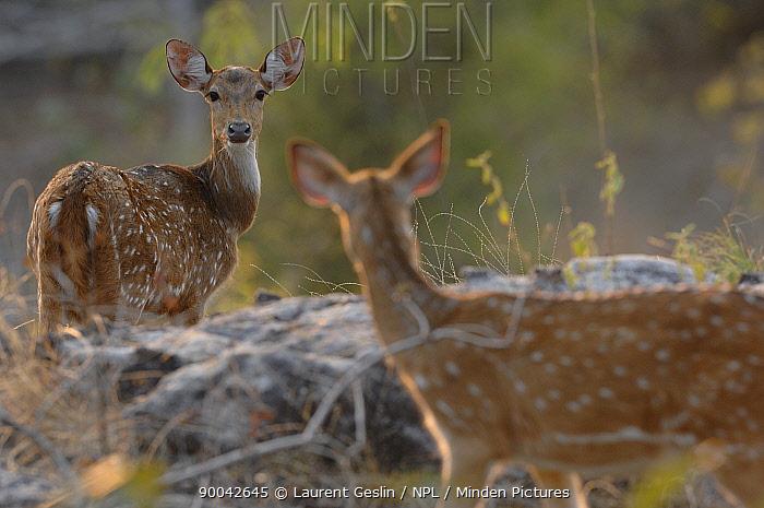 Axis Deer (Axis axis) two females, Bandhavgarh National Park, Rajasthan, India  -  Laurent Geslin/ npl