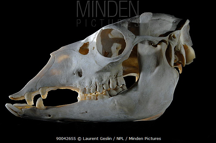 Dromedary (Camelus dromedarius) skull  -  Laurent Geslin/ npl