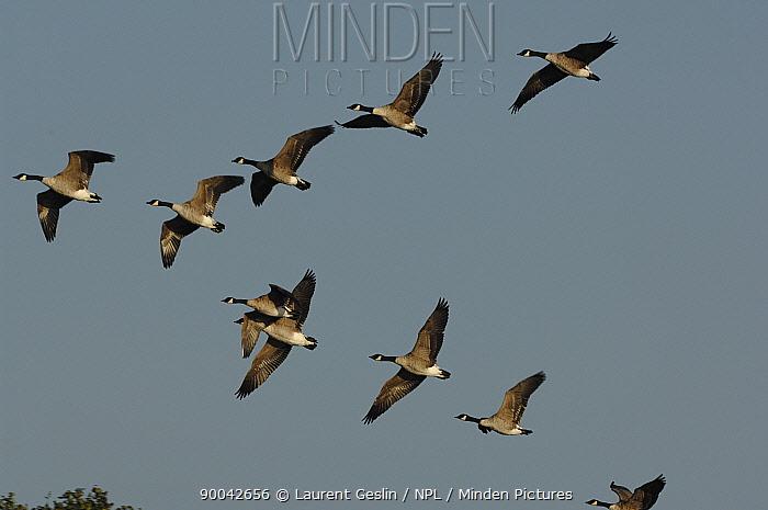 Canada Goose (Branta canadensis) flying in a V-formation, United Kingdom  -  Laurent Geslin/ npl