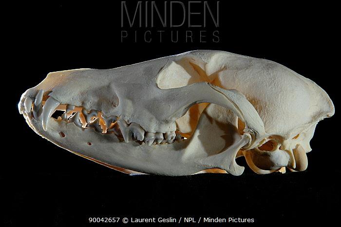 Coyote (Canis latrans) skull  -  Laurent Geslin/ npl