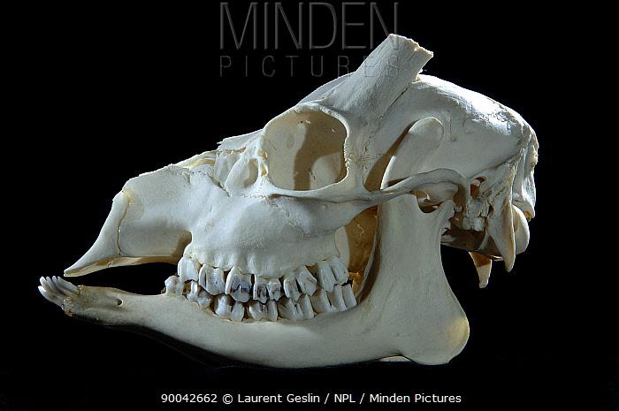 Western Roe Deer (Capreolus capreolus) male skull  -  Laurent Geslin/ npl