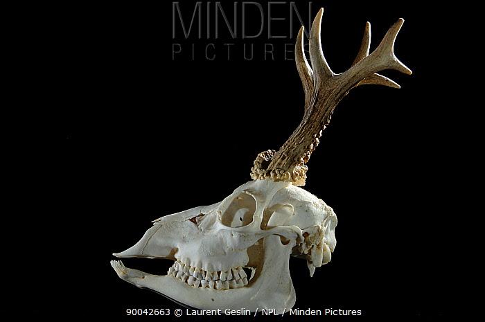 Western Roe Deer (Capreolus capreolus) male skull with antlers  -  Laurent Geslin/ npl