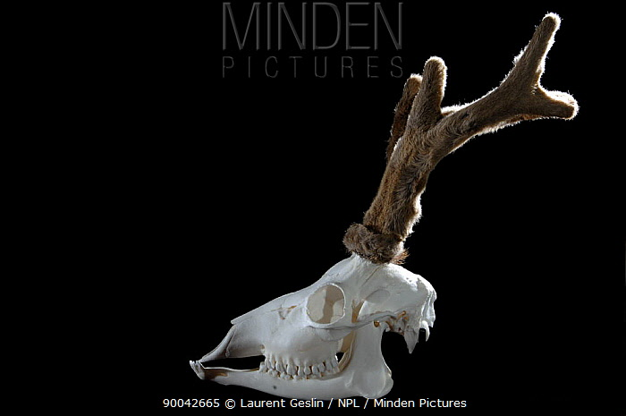 Western Roe Deer (Capreolus capreolus) male skull with antlers in velvet  -  Laurent Geslin/ npl