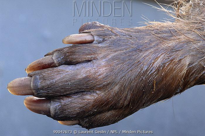 European Beaver (Castor fiber) paw France  -  Laurent Geslin/ npl