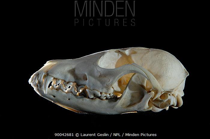 Crab-eating Fox (Cerdocyon thous) skull  -  Laurent Geslin/ npl