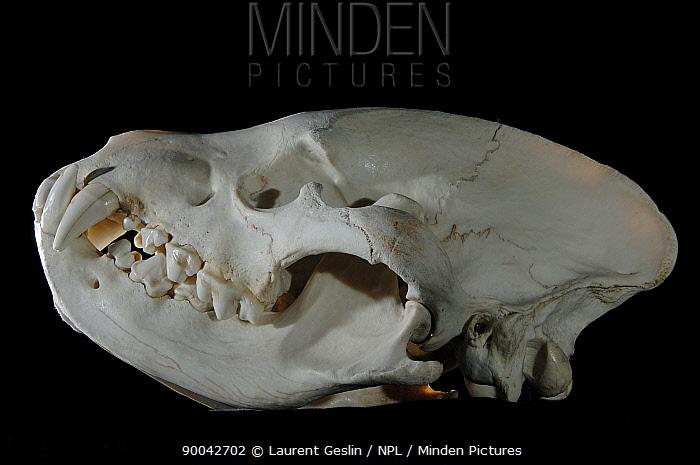 Spotted Hyena (Crocuta crocuta) skull  -  Laurent Geslin/ npl