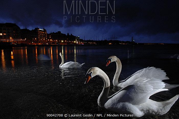 Mute Swan (Cygnus olor) on Lake Leman, Geneva at night, Switzerland  -  Laurent Geslin/ npl