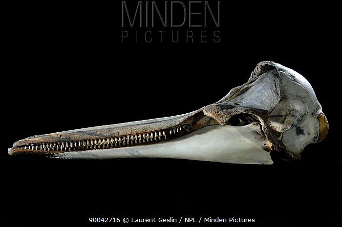 Common Dolphin (Delphinus delphis) skull  -  Laurent Geslin/ npl