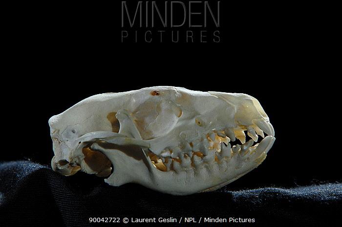 Brown-breasted Hedgehog (Erinaceus europaeus) skull  -  Laurent Geslin/ npl