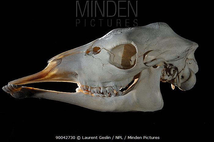 Giraffe (Giraffa camelopardalis) skull  -  Laurent Geslin/ npl