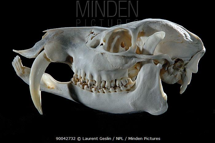 Chinese Water Deer (Hydropotes inermis) skull  -  Laurent Geslin/ npl