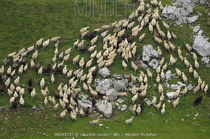 Domestic Sheep (Ovis aries) flock Alps, France  -  Laurent Geslin/ npl