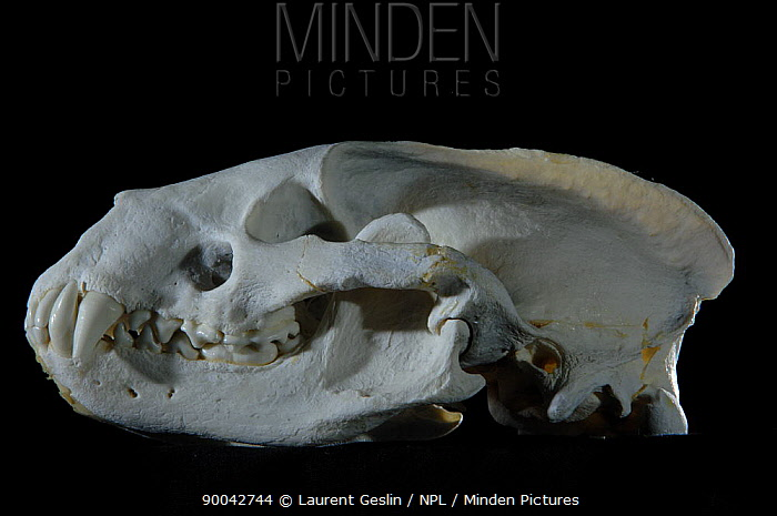 Eurasian Badger (Meles meles) skull  -  Laurent Geslin/ npl