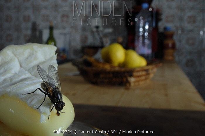 House Fly (Musca domestica) on soft french cheese in a kitchen, United Kingdom  -  Laurent Geslin/ npl