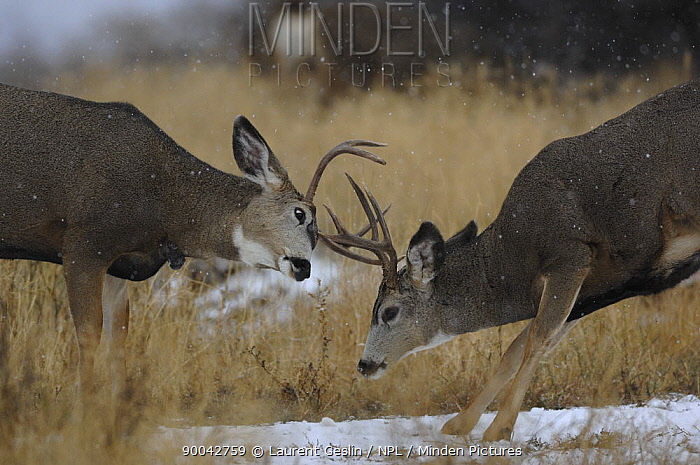 Mule Deer (Odocoileus hemionus) stags fighting, Washington  -  Laurent Geslin/ npl