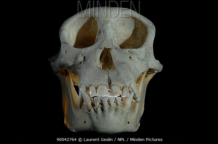 Chimpanzee (Pan troglodytes) skull  -  Laurent Geslin/ npl