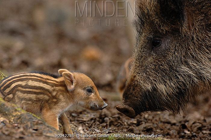 Wild Boar (Sus scrofa) female with one-day baby, near Geneva, Switzerland  -  Laurent Geslin/ npl