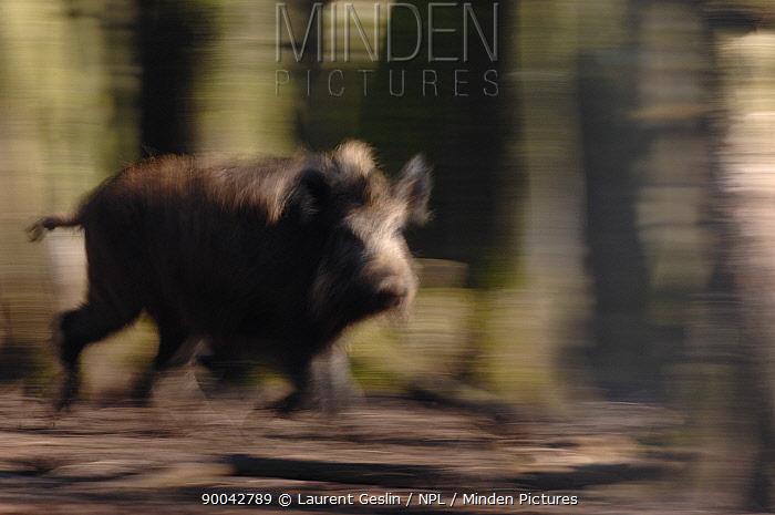 Wild Boar (Sus scrofa) male running through woodland, near Geneva, Switzerland  -  Laurent Geslin/ npl