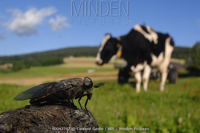 Horse Fly (Tabanus bovinus) near a domestic cow, Switzerland  -  Laurent Geslin/ npl