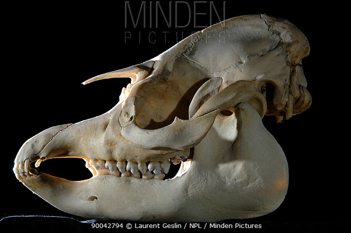Brazilian Tapir (Tapirus terrestris) skull  -  Laurent Geslin/ npl