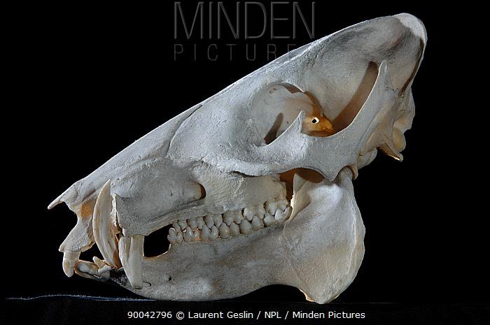 Collared Peccary (Tayassu tajacu) skull  -  Laurent Geslin/ npl