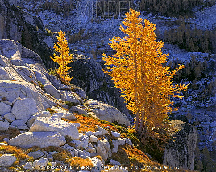 Western larch in bright autumn colour in the Enchantment Lakes Region of the Alpine Lakes Wilderness, Washington, USA  -  Kirkendall-spring/ npl