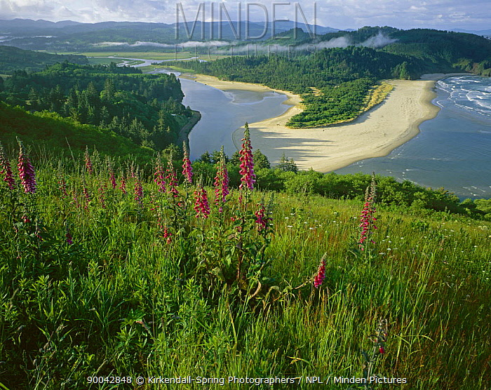 Foxgloves blooming on Cascade Head above the mouth of the Salmon River, Oregon, USA  -  Kirkendall-spring/ npl