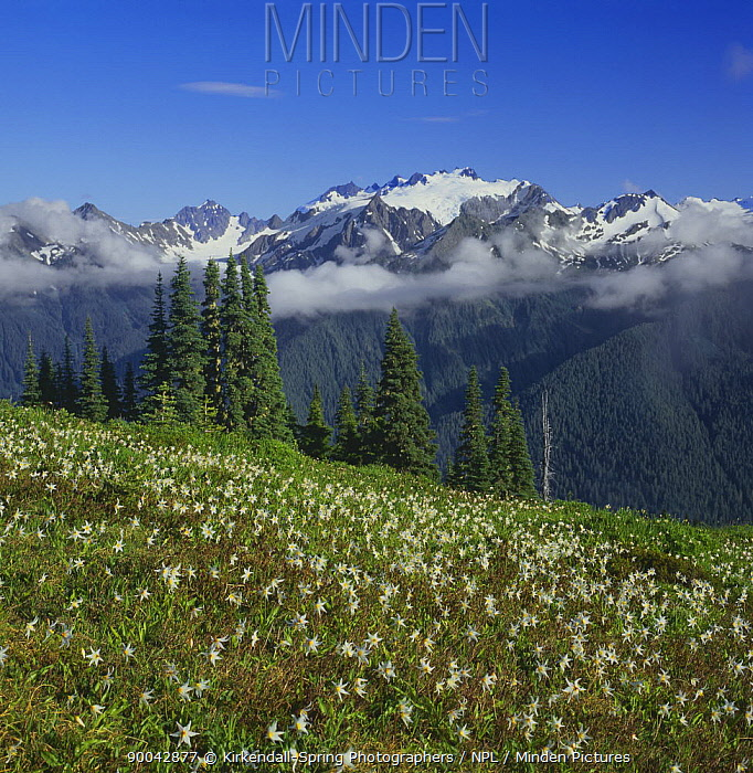 Avalanche lilies (Erythronium montanum) on the High Divide, Mount Olympus in the distance, Olympic National Park, Washington, USA  -  Kirkendall-spring/ npl