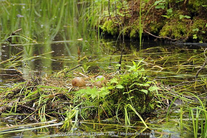 Common Crane (Grus grus) eggs on nest in Alder swamp, Biebrza National Park, Poland  -  Nick Upton/ npl