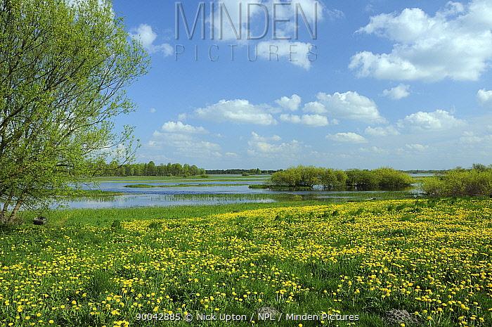 Dandelions (Taraxacum officinale) carpet pastureland on Biebrza marsh, Poland  -  Nick Upton/ npl