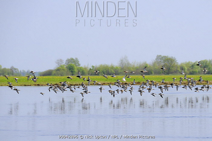 Ruff (Philomachus pugnax) flock in flight over Narew River, Poland  -  Nick Upton/ npl