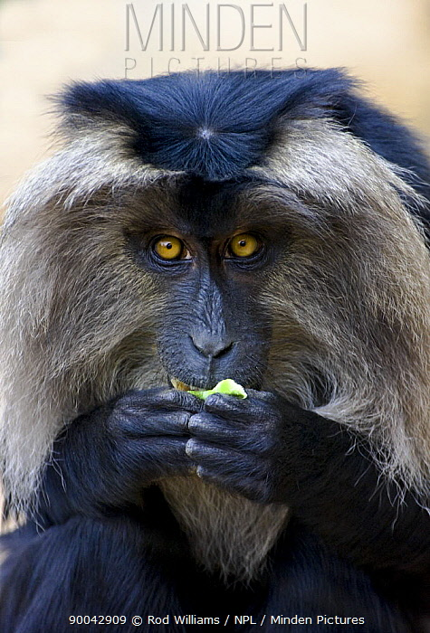 Lion-tailed Macaque (Macaca silenus) eating, Occurs South West India  -  Rod Williams/ npl