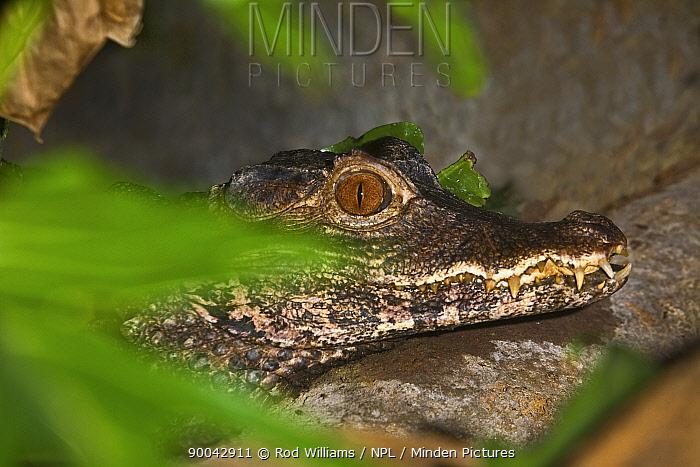 Cuvier's Dwarf Caiman (Paleosuchus palpebrosus), the smallest crocodilian Occurs northern South America Lower Risk Species,,  -  Rod Williams/ npl